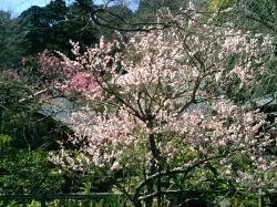 めちゃめちゃ白梅がキレイに咲いてました!紅梅もあり。